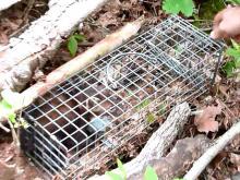 Pine marten in live trap.